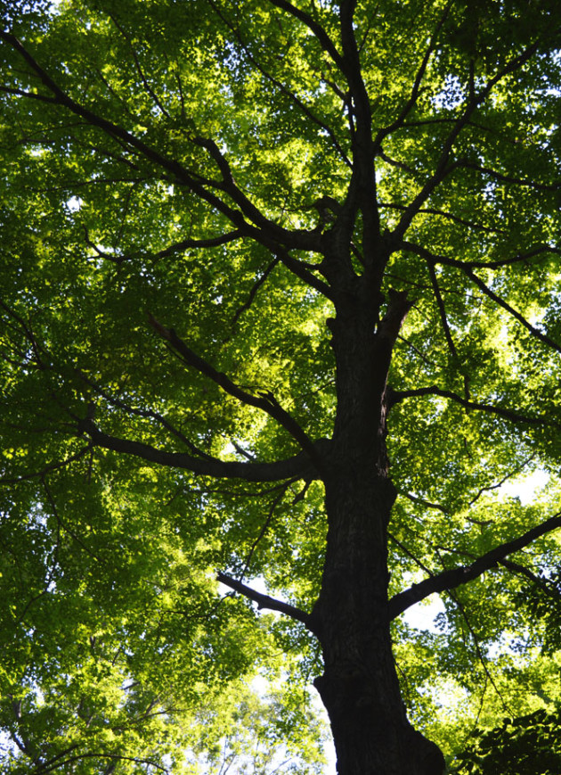 A mighty oak at Scarlet Oak Woods. Photo by Jaime Sweany.