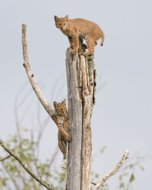 Bobcat cubs scampered up a tree at Columbia Mine Preserve. Photo by Steve Gifford.