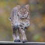 Bobcat seen at close range at the Patoka River National Wildlife Refuge by photographer Steve Gifford.
