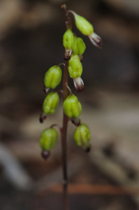 Autumn Coralroot. Photo by Vern Wilkins.