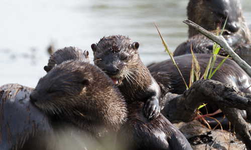 Otters grooming. Photo by Steve Gifford.