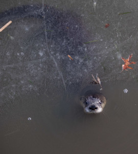 otter peeks out