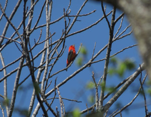 The Danak Conservation Easement in Crawford County is home to this brilliant male scarlet tanager. Photo by John Lawrence.