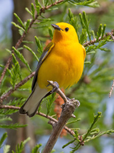 A prothonotary warbler perches on a cypress tree at Eagle Slough Natural Area, which is a hotspot for warbler migration and is also home to birds year-round. Photo by Steve Gifford.