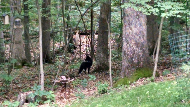 """Pam just saw this. Black fox?"" A text message from my neighbor, Tobin Tyree, moments after his wife Pam saw the fox."