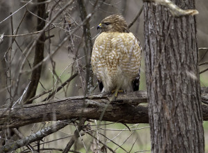 Red-shouldered hawk at Tangeman Woods. Photo by Jeff Danielson.