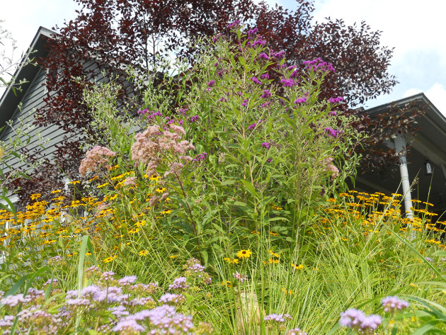 Shane's garden bed is bursting with color from ironweed, snakeroot, Joe-Pye weed, black-eyed Susans, blue mist flower, and prairie dropseed.