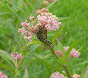 Monarch caterpillar on swamp milkweed.