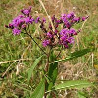Tall ironweed