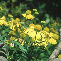 autumn_sneezeweed