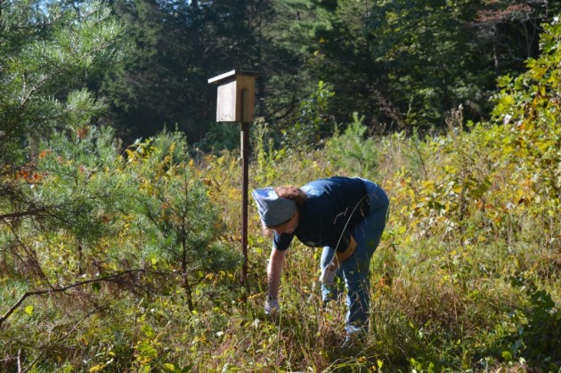 Betty Davis clears invasive plants from the native prairie.