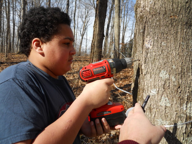 Tanner drilling maple tree for syrup